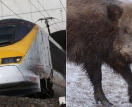 Поезд и дикие кабаны