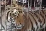 Тигр Китай