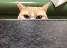 кошка япония