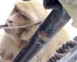 обезьяна бензин