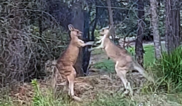 Драка кенгуру