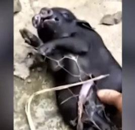Свинья мутант