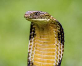 кобра укусила
