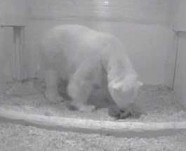 Белый медведь Берлин