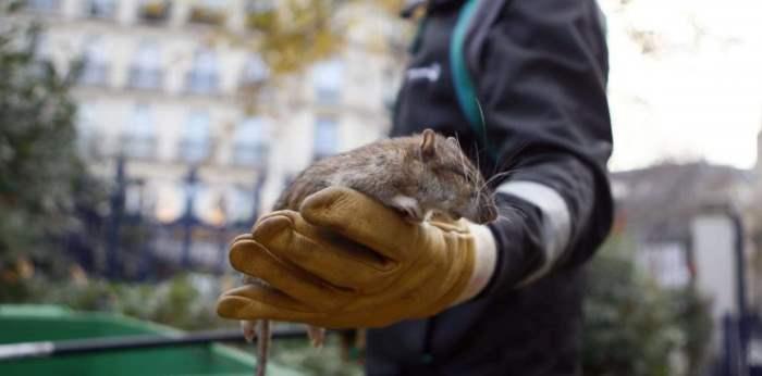 Париж Крысы