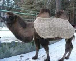 верблюд тула