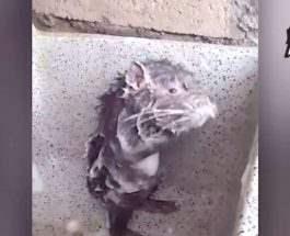 крыса в душе