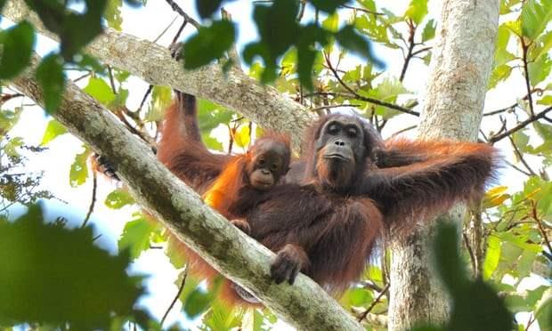 Массовая орангутанговая резня в Борнео