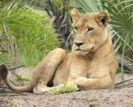 львица убила