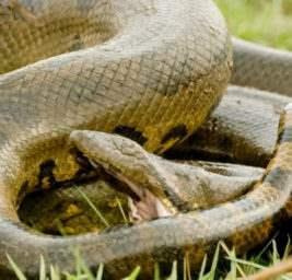 В Африке убили самую большую змею в мире