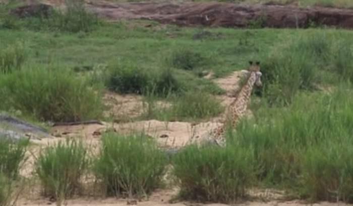 Жираф спасся открокодила, однако попал кольвам