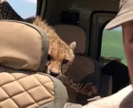 гепард сафари
