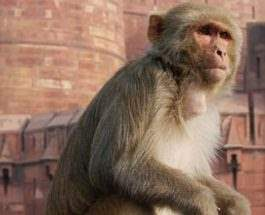 обезьяна Индия