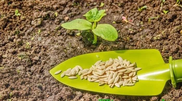 семена подготовка