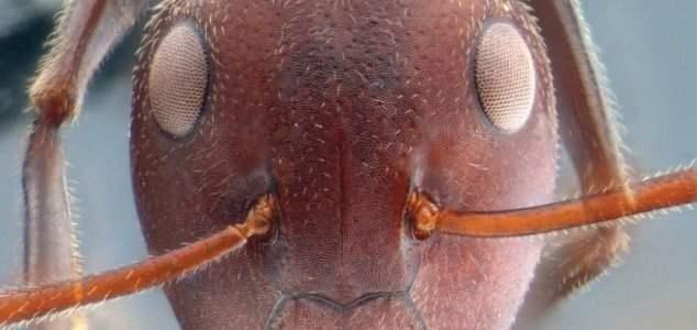 взрывающиеся муравьи