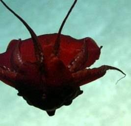 красный кальмар