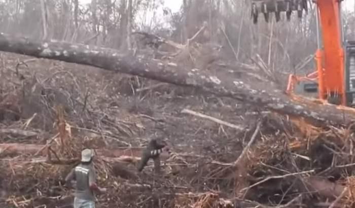 Орангутанг бульдозер
