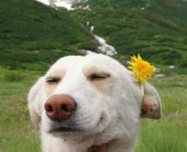 медо собака