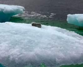 Лиса на льдине
