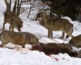 Чернобыль волки