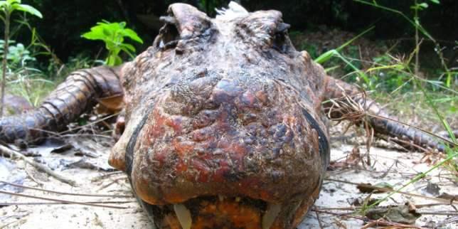 оранжевый крокодил