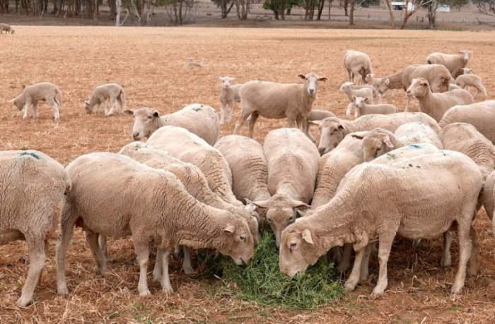 Овцы едят корм