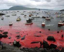 Убийство китов Фарерские острова