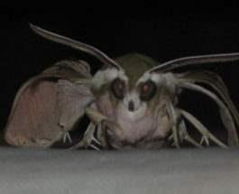 бабочка вампир