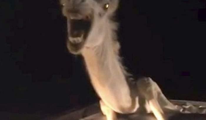 верблюд индия