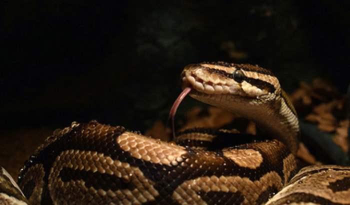 змея съела козу
