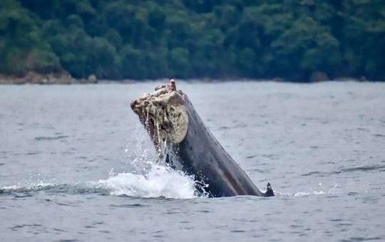 кит без хвоста