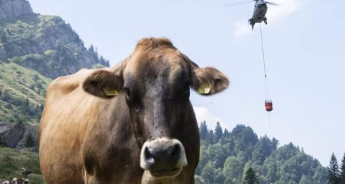 коровы и вертолет