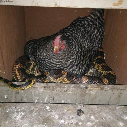 курица и змея