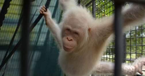 орангутанг альбинос
