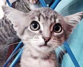 четырехухий котенок