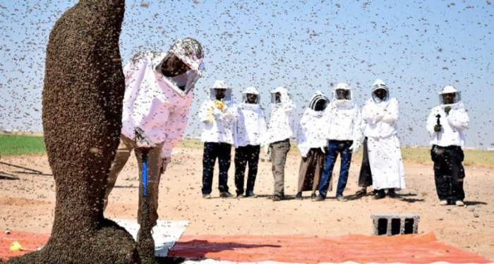 Пчелы, Табу, Саудовская Аравия.