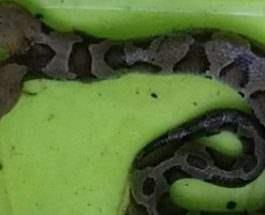 змея,две головы,Вирджиния