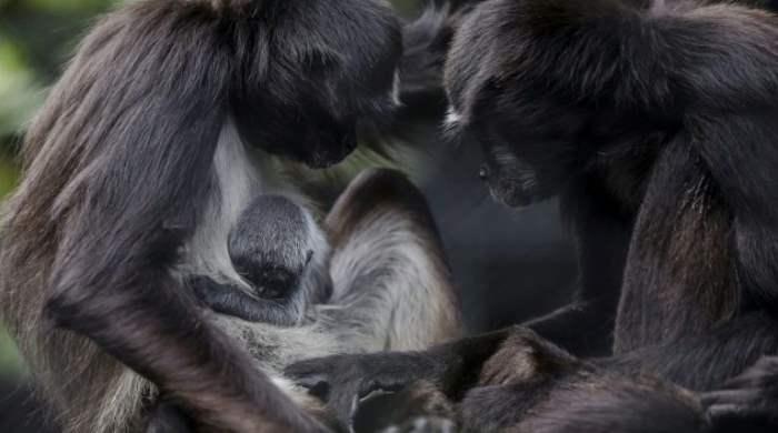 обезьяна паук