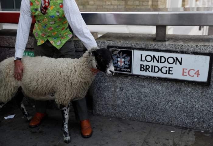Забег овец