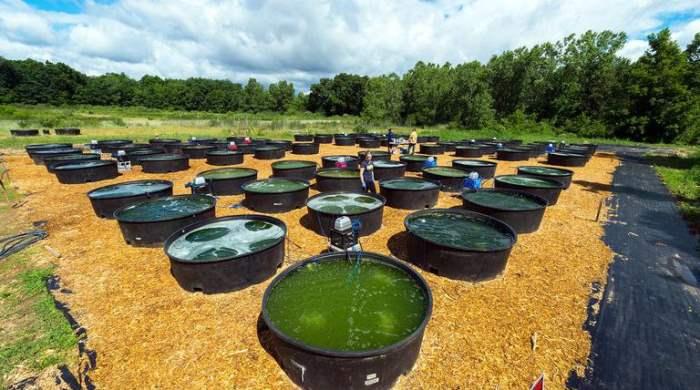водоросли как топливо