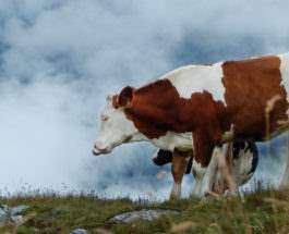 насильник скота