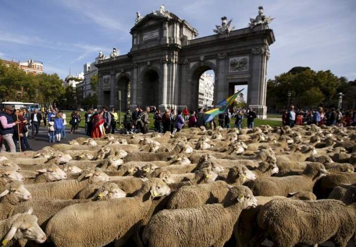 овцы мадрид