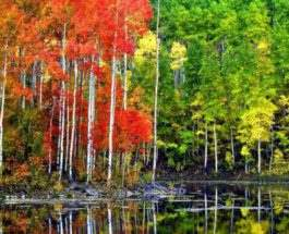 пандо лес