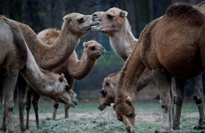 Верблюды едят в зоопарке в Берлине, Германия.