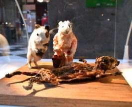 Гвинейская свинья - деликатес в Перу.