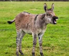 зебра и осел