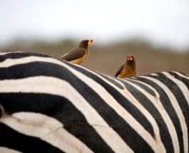 Птицы сидят на зебре