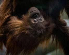 Один из орангутанов