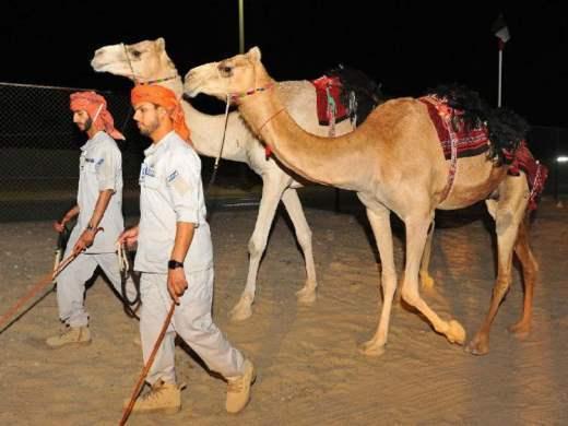 верблюды эмираты