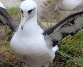 стрейший альбатрос